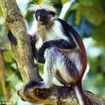 Zanzibar Wild Life - The Colobus monkey. Photo credit 4Corners Images