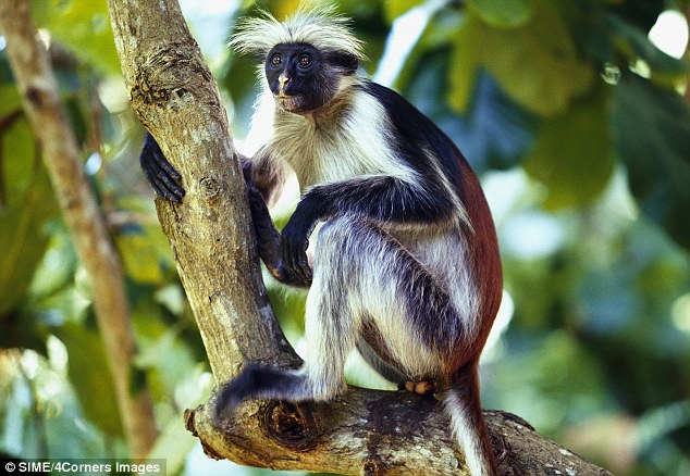 Zanzibar Wild Life - The Colobus monkey. Photo credit 4Corners Images