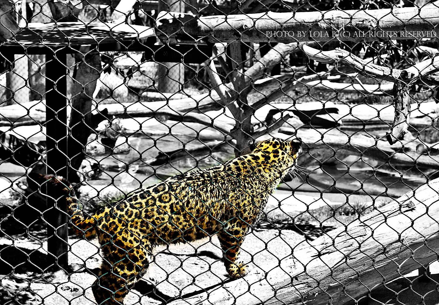 Cheetah at San Diego zoo